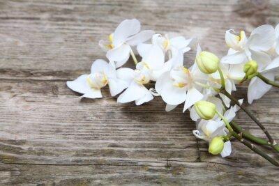 Fototapeta Biała orchidea (Phalaenopsis)