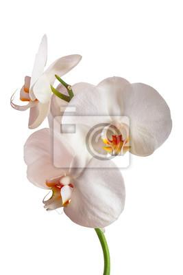 Fototapeta Biała Orchidea samodzielnie na białym tle