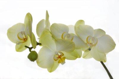 Fototapeta biała orchidea wyizolowanych