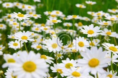 Biała stokrotka na polu