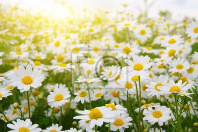 Białe camomiles na zielone pole