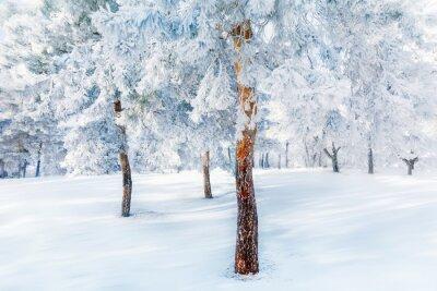 Fototapeta Białe drzewa w śniegu i mróz w lesie. Piękna krajobraz zimowy.