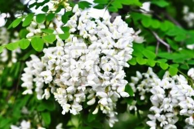 Białe kwiaty akacji