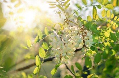 Fototapeta białe kwiaty akacji, wiosna naturalne tło