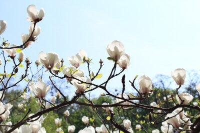 Fototapeta Białe kwiaty magnolii na czarnych gałęziach