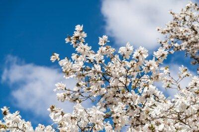 Fototapeta Białe kwiaty magnolii na wiosnę