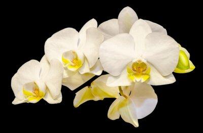 Fototapeta Białe kwiaty orchidei, Phalaenopsis, Moth Orchid