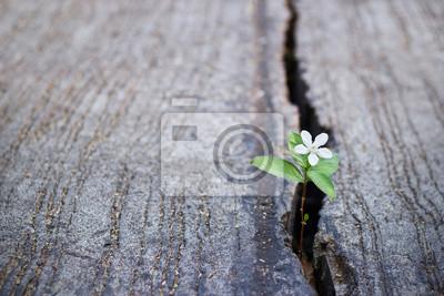 Fototapeta białe kwiaty rosnące na pęknięcia ulicy, miękki, czysty tekst