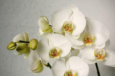 Fototapeta białe orchidee