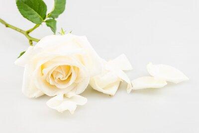 Fototapeta Białe płatki róż w pobliżu na białym tle