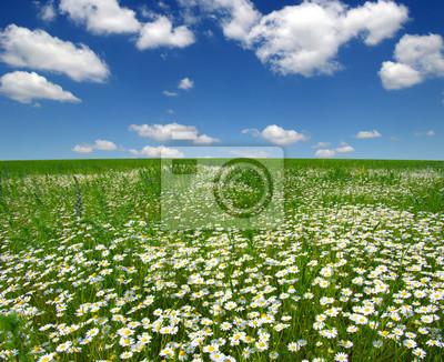 białe stokrotki na niebieskim niebie