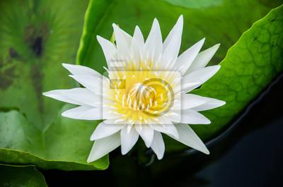 białego lotosu na zielonym tle