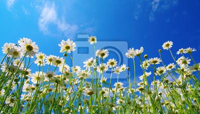 Biali rumianki na niebieskim niebie
