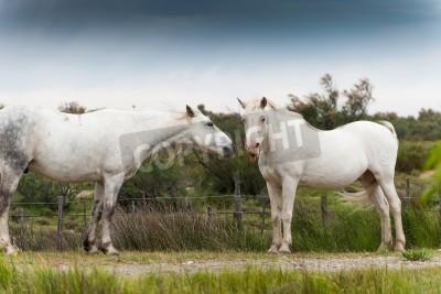 Fototapeta Biały Camargue koń pokazuje język