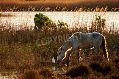 Fototapeta Biały Koń Camargue darmo w użytkach zielonych w podświetlenie z aa Czapla bydła, sfotografowany w poziomie