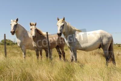 Fototapeta Biały Koń Camargue, Francja