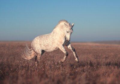 Fototapeta Biały koń prowadzony
