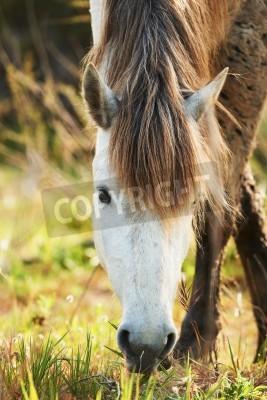 Fototapeta biały koń z Camargue