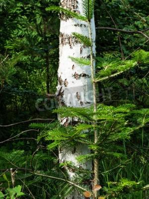 Fototapeta Biały korze brzozy drzewa w lesie