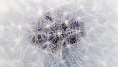 Fototapeta Biały kwiat mniszka Spadochrony Makro (16: 9 Format obrazu)