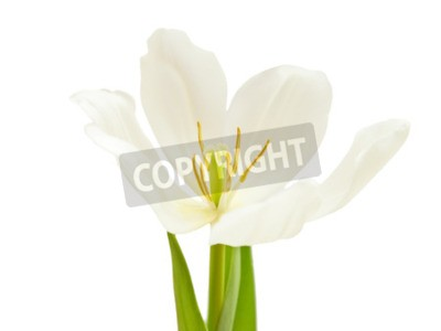 Fototapeta Biały kwiat tulipan wyizolowanych na białym tle