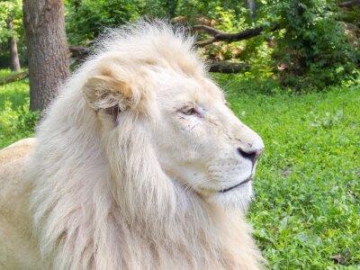 Fototapeta Biały Lew (Panthera leo krugeri)