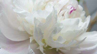Fototapeta Biały peonia kwiatu zakończenie