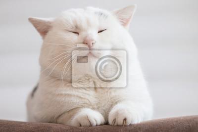 Fototapeta biały tłusty kot siedzi