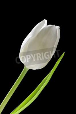 Fototapeta Biały tulipan