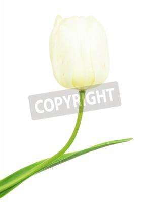 Fototapeta biały tulipan na białym tle.