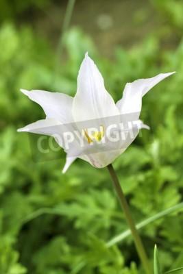 Fototapeta Biały tulipan z bliska