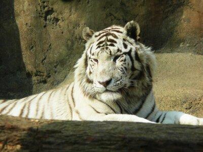 Fototapeta biały tygrys