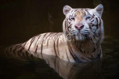 Fototapeta Biały tygrys symbolem sukcesu i potęgi