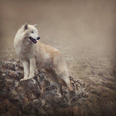 Fototapeta Biały wilk w nocy