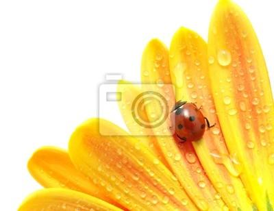 Fototapeta biedronka na kwiat
