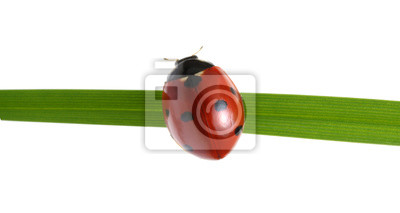 Biedronka na zielonej trawie
