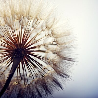 Fototapeta big dandelion on a blue background