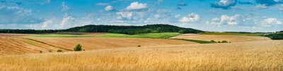 Fototapeta big panoramic view of landscape of wheat field, ears and yellow and green hills