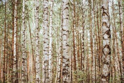 Fototapeta Birch Grove background. Autumn forest