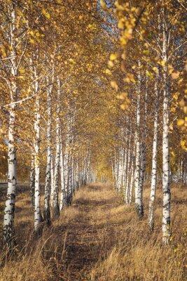 Fototapeta Birch Grove w sezonie jesiennym