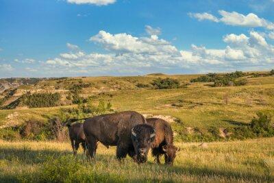 Fototapeta Bison in the Theodore Roosevelt National Park - North Unit  - North Dakota Badlands - buffalo