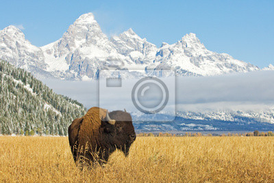 Fototapeta Bison przed pasmem Grand Teton Mountain z trawą na pierwszym planie