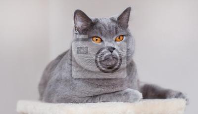 Fototapeta Bkh Niebieski Katze Portret Kot Brytyjski Krótkowłosy