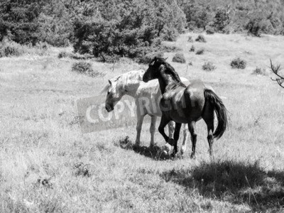 Fototapeta Black and white horses on a pasture in sunny day, black and white image