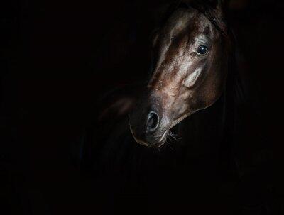 Fototapeta Black arab horse