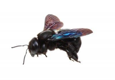 Black bumblebee isolated on white