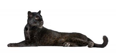 Fototapeta Black Leopard, 6 lat, z przodu bia?