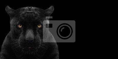 Fototapeta black panther shot close up with black background
