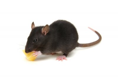 black rat isolated on the white