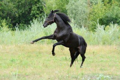 Fototapeta black thoroughbred stallion playing in freedom